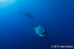 20151001-191324-365 (andy_deitsch) Tags: mexico sharks 2015 guadalupeisland