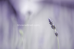Lavander (shirene.briell) Tags: macroflowers oct2015