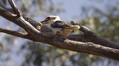 Hungry Kookaburra (Dacelo novaeguineae) (darrylkirby) Tags: elements