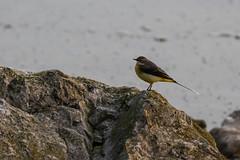 Wagtail (lens buddy) Tags: birds wildlife lancashire waterfowl wagtail pinelake wildfowl carnforth canoneosdigital