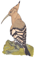 Hoopoe (Kate_Lokteva) Tags: art sketch drawing sketchbook marker draw markers artworks letraset promarkers