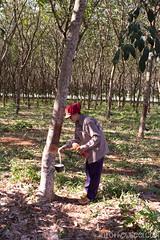 Travail autour de la récolte de caoutchouc