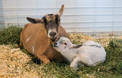 GusGus Back Home with His Mother Custard (marzipan bunny) Tags: november 6 statefair goats gusgus 2015 arizonastatefair karenmccrorey
