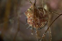 Haneskjell (Linn Røkenes) Tags: 10 dykking skjell undervannsbilder altafjord steder subsee haneskjell