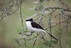 Bird in Acacia (meredith_nutting) Tags: africa bird rwanda eastafrica easternafrica
