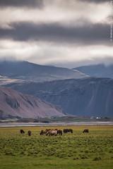 Wildlife in Iceland (Andrea_Lazzarato) Tags: iceland islanda 2015 travel adventure avventura road n°939 egilsstaðir höfn í hornafirði horses wildlife wild free