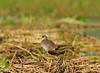 DSC_0602 (Suman_1976) Tags: nikond700 300mmf4 14eiitc wildlife india birds chupichar nature