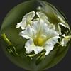 Flower Power (swong95765) Tags: white flower sphere yellow green marble glass bokeh circle petunia