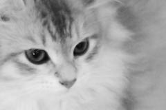 Princess portrait (il goldcat) Tags: goldcat cat gatti siberian siberiani mici gattini