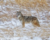 Pretty Coyote Poses With Snow-covered Face (dcstep) Tags: aurora colorado unitedstates us n7a1362dxo coyote wildcanine westerncoyote canon5dmkiv ef500mmf4lisii ef14xtciii allrightsreserved copyright2017davidcstephens dxoopticspro1131 nature urban urbannature sanctuary handheld pixelpeeper