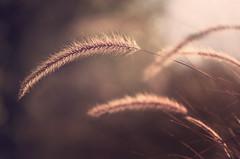 Tranquilité (Sylvain Dorais) Tags: nature nikond7000 nikon herbe paysage flore fleur solitude lumière