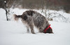 _DSC4939 (sochacki.info) Tags: szyszka griffon wirehaired pointing wpg gundog winter snow hunting dog poland sanok forest walk outside freezing