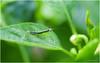 Mantis (b. inxee♪♫) Tags: mantis agriculture insect macro