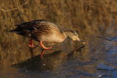IMG_0689 (Yorkshire Pics) Tags: birds wildlife britishbirds mallard birdsonice ice frozen duck fairburnings fairburningsnaturereserve rspbfairburnings