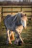 Horse (Jez22) Tags: horse pony equine equestrian animal fiwld pasture mare stallion dapple grey mane outdoor gypsy gipsy gypsyhorse copyright jeremysage