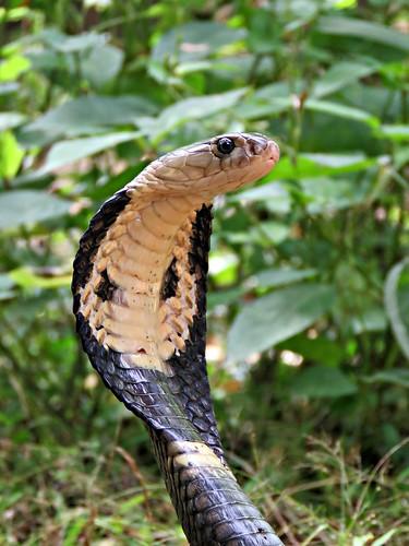 Cobra de monóculo (Naja kaouithia)