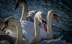 Bodrogpart.. (tferi666) Tags: travel winter swans beautiful best nice fantastic ngc amazing sony ilce next alpha a6300 sonyflickraward sonyflickrawardgold freeze hungary magyar sárospatak bodrogpart zemplén tél gyönyörű hattyú 18105mm