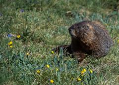 Salad bar for Marmots.jpg (tiggerpics2010) Tags: marmots rockies usa colorado continentaldivide