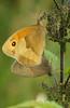 Pyronia tithonus (henk.wallays) Tags: aaaa arthropoda butterfly edelfalter falter grossesochsenauge græsrandøje henkwallays insect jurtina laloba lemyrtil lepidoptera maniola maniolajurtina mariposa meadowbrown myrtil nagyökörszemlepke nature nymphalidae okáčluční očkáňlúčny paprastasisjautakissatyras przestrojnikjurtina pļavasvēršacītis rappringvinge stages schmetterlinge slåttergräsfjäril tagfalter tummahäränsilmä vlinders zandoogjes bruinzandoogje butterflies closeup copulation dagvlinder insecta insecte insekt lepidoptere macro natuur papillon skubvlerkiges sommerfugl vlinder wildlife çayıresmeri ô·tia̍p πεταλούδα дневнитепеперуди лускакрылыя тәңкәҡанатлылар күбәләктәр матылі