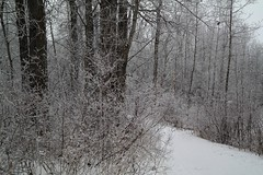 frosty days (kdufour1234) Tags: winter frost snow outside adventure ravine stairs trees berries edmonton millcreek southside