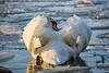 Yoga for swans (hloklm) Tags: schwan winter see wannsee eis eisschollen yoga licht wintersonne abendsonne