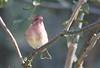 IMG_2890 Purple Finch - Haemorhous purpureus (Jon. D. Anderson) Tags: birdsofwashington bird washingtonbirds finch purplefinch haemorhouspurpureus carpodacuspurpureus