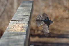 DSC_9284 (Beth Rizzo) Tags: nature wildlife birds flight wings avian heron blueheron cardinal bluejay sparrow titmouse winged newengland