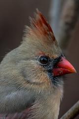 Her best profile (Explored) (Fred Roe) Tags: lca71d1480 nikond7100 nikkorafs80400mmf4556ged nikonafsteleconvertertc14eii nature wildlife cardinal birds birding birdwatching birdwatcher northerncardinal cardinaliscardinalis peacevalleypark