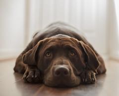 Zeppelin, Chocolate Labrador, Liverpool (Pablo8485) Tags: zeppelin chocolatelabrador liverpool dog puppy
