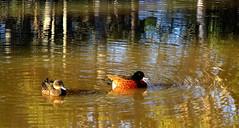 My Head is SPINNING..... (Lani Elliott) Tags: birds duck ducks chestnut chestnutteals teals nature naturephotography duckpond pond water reflection reflections ripples