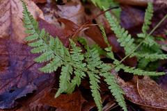 Fern (mrbarrett70) Tags: forest massachusetts leaves