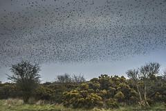 Starlings and Gorse (stevedewey2000) Tags: birds bird starlings starling murmuration cloud salisburyplain wiltshire sigma2470 gorse shrub flora