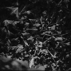 Ivy Wall (sandrovonah) Tags: film filmfilmforever 120film mediumformat homedeveloped ilford ilfordpanf ilfordpanfplus asa50 ilfordpanf50 panf blackwhite bw hasselblad hasselblad500 hasselblad500c hassi carlzeiss carlzeissplanar carlzeissplanar80mmf28 planar80mm planar80mmf28 planar plant plants ivy nature detail closeup dof selfdeveloped
