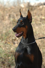 Dobermann portrait (GrasePhoto.) Tags: dobermann portrait pincher dog friend guard beauty strenth face black tan head chain collar openmouth tongue one autumn breed doberman teeth look ears protect