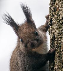 _DSC7514 (vvpopov) Tags: sciurusvulgaris mammal animal close closeup