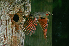 Flicker housekeeping (Purple 2) Tags: bird fantastic woodpecker nest britishcolumbia flight birdsinflight northvancouver animalplanet flicker naturescenes northernflicker colaptesauratus redshaftedflicker specanimal flagspaette animalkingdomelite abigfave