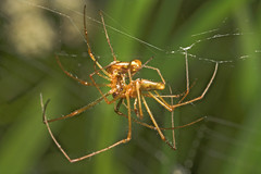 """Spiders Mating 1 • <a style=""""font-size:0.8em;"""" href=""""http://www.flickr.com/photos/57024565@N00/161669241/"""" target=""""_blank"""">View on Flickr</a>"""