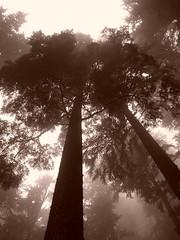 Cedar Fog - sepia