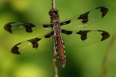 I dream of Dragonflies...... (nature55) Tags: nature tag3 ilovenature outdoors tag2 tag1 dragonflies whitetail realm mireasrealm mireas odonota spselection