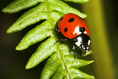 """Common 7 spot ladybird (Coccinella 7-(4) • <a style=""""font-size:0.8em;"""" href=""""http://www.flickr.com/photos/57024565@N00/166490525/"""" target=""""_blank"""">View on Flickr</a>"""