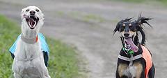 Just having fun (HawksView) Tags: friends dog greyhound silly tongue persian desert hound sight arabian sighthound hunt saluki tazi iluvmydog