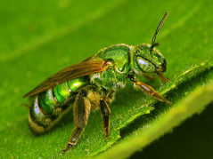 Halictid (Sean McCann (ibycter.com)) Tags: macro animals insects bugs s2is hymenoptera halictidae raynoxdcr250 taxonomy:family=halictidae taxonomy:genus=agapostemon taxonomy:binomial=agapostemonsplendens
