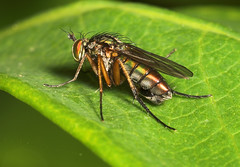"""Fly (poecilobthrus nobilitatus) Femal(1) • <a style=""""font-size:0.8em;"""" href=""""http://www.flickr.com/photos/57024565@N00/171922558/"""" target=""""_blank"""">View on Flickr</a>"""