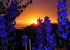 Delphinium Sunset 2... (Dave - aka Emptybelly) Tags: light sunset pordosol england panorama cloud sun sunlight flower sol nature beautiful silhouette wow wonderful skyscape ilovenature fire zonsondergang colorful paradise tramonto shadows sonnenuntergang gorgeous sony horizon 123 321 hampshire explore glorious rays colourful dmmerung sonydscs40 sunrays crpuscule picturesque delphinium newforest eb firelight glamorous oscuridad 1on1 puestadelsol riveravon coucherdusoleil schemer wondrous naturesart tbg dgr 123nature thecontinuum 2for2 views1000 lovephotography specnature thebiggestgroup emptybelly totallyobsessive obsessiveflickrites
