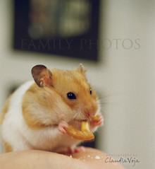 the hamster (claudiaveja) Tags: family pink pet cute animal nose photography hand photos stock images hamster claudia concept lovely transylvania veja cluj royaltyfree rightsmanaged claudiaveja rightmanaged