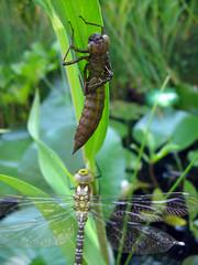 No longer needed ... (oz_britta) Tags: macro closeup germany dragonflies insects libellen specnature