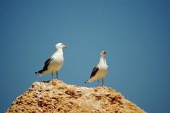 Nunca mais te calas? (Emerging Birder) Tags: bird animal rock d50 nikon seagull sigma pssaro ave gaivota laruscachinnans larusmichahellis gaivotadepatasamarelas 70300mmf456macro