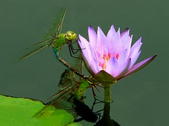 Dragonflies on Water Lily (ladyloneranger) Tags: japanesegarden pond bravo waterlily dragonflies comoparkconservatory stpaulminnesota i500 interestingness408july606