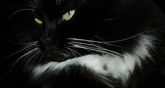 Feline Contemplation (Shawn's Kitty (Busy Healing!)) Tags: bw white black cat flow tuxedo fluffycat shawnskitty lofcal