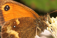 """Gatekeeper Butterfly (pyronia tithonu(1) • <a style=""""font-size:0.8em;"""" href=""""http://www.flickr.com/photos/57024565@N00/188722762/"""" target=""""_blank"""">View on Flickr</a>"""